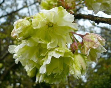 Prunus Gyoiko