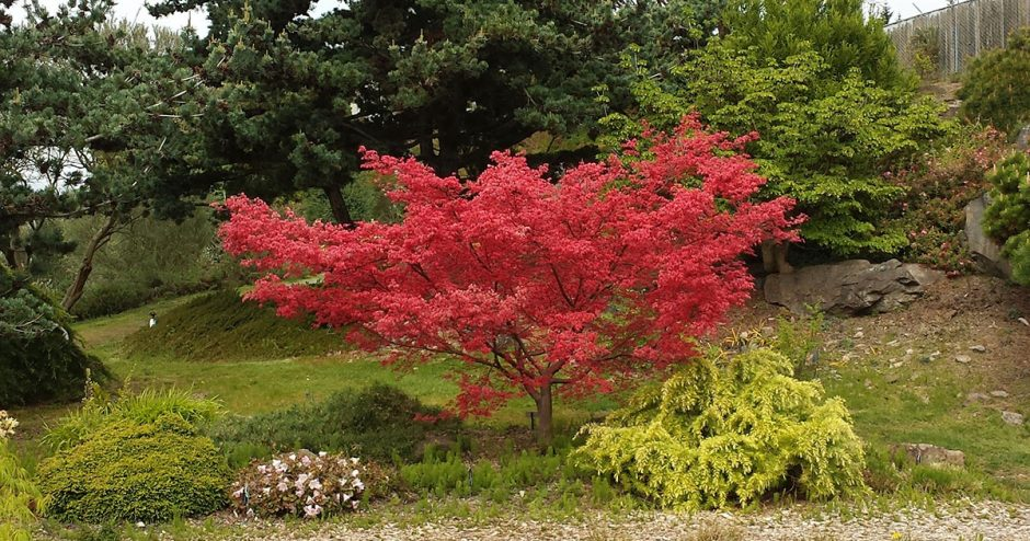 Acer palmatum 'Shindeshojo' in the Alpine Garden
