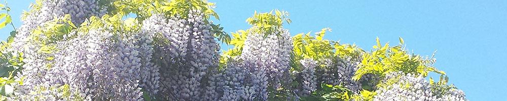wisteria_1000x200