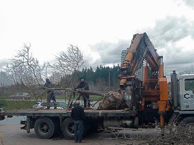 Chitalpa tashkentensis and crane truck