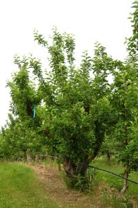 The first Ambrosia tree at the Mennels' orchard in Cawston