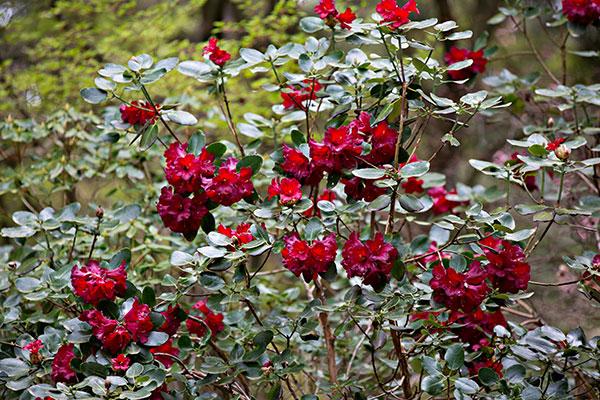 Rhododendron thomsonii