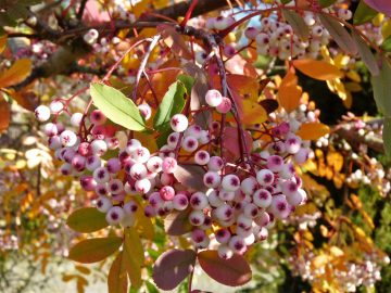 photo of Sorbus pseudohupehensis