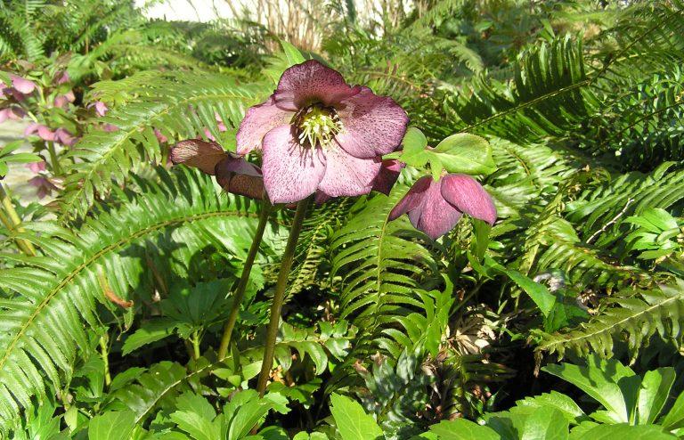 Purple hellebore growing amongst ferns