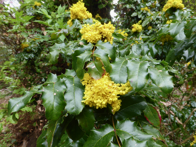 Berberis aquifolium - plant with spiky leaves and yellow flowers