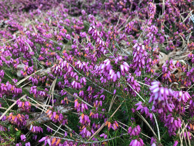 Erica carnea - bed of small purple flowers
