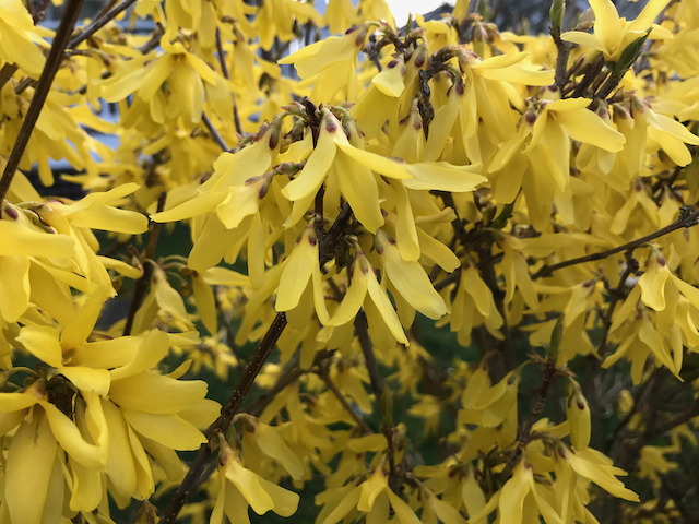 Forsythia x intermedia - bright yellow flower close up