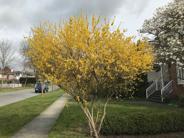 Forsythia x intermedia - bright yellow flowers on tall bush, neighbourhood sidewalk in background