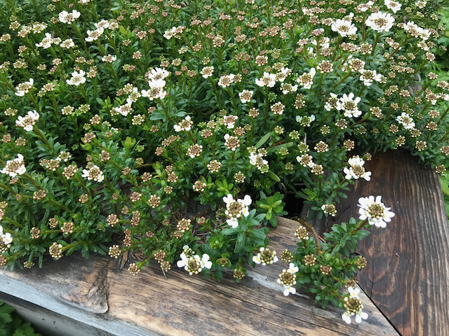 bed of flowering plants with many white flower clusters