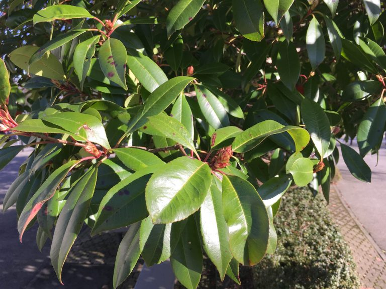 Photinia x fraseri - green leaf bush with red buds
