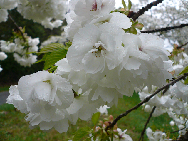 Close up of Prunus Shirotae - clusters of small white blooms on branch