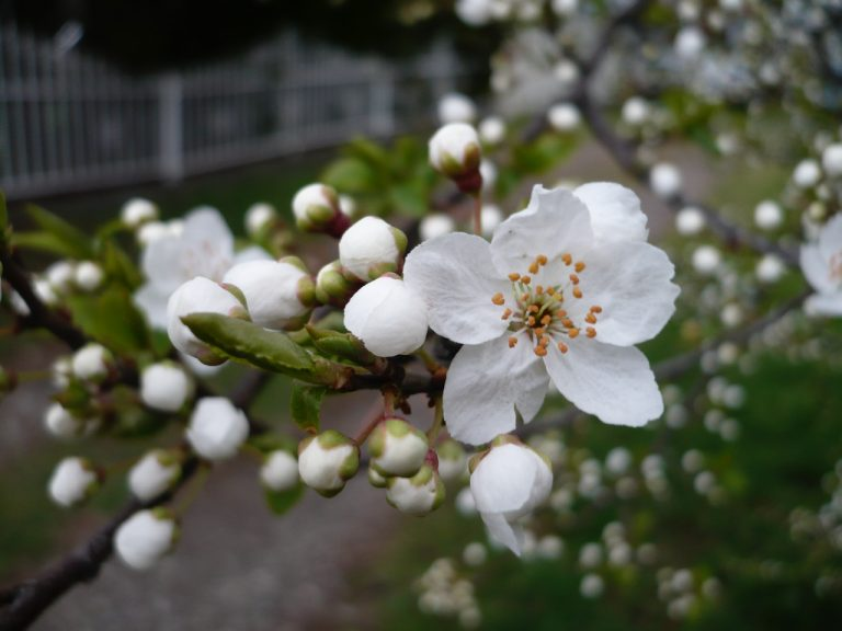 Prunus cerasifera - pale white cherry blossom close up