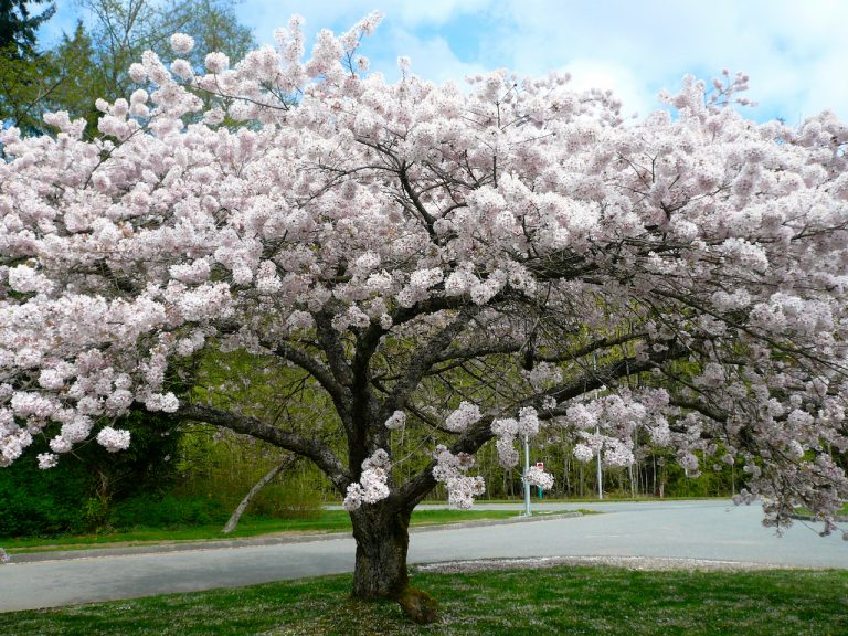 Prunus x yedoensis Akebono - full view of tree blossoming with cherry blossoms