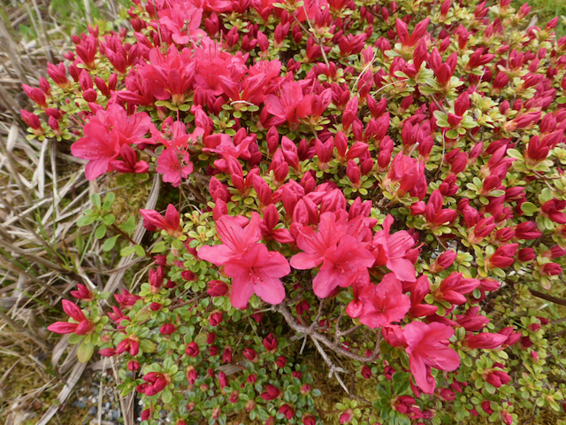 bush of small leaves and blooming pink-red flowers