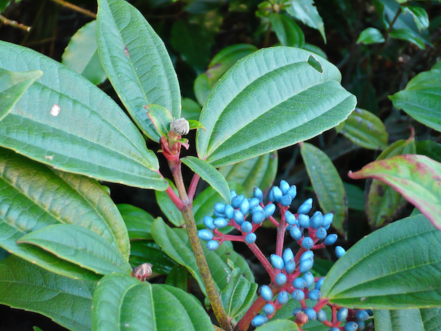 emerald leaves with signature three veins growing across - clusters of small blue berries