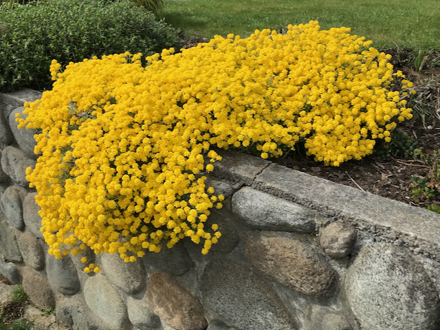 low concrete wall where a froth of tiny yellow flowers cascade over