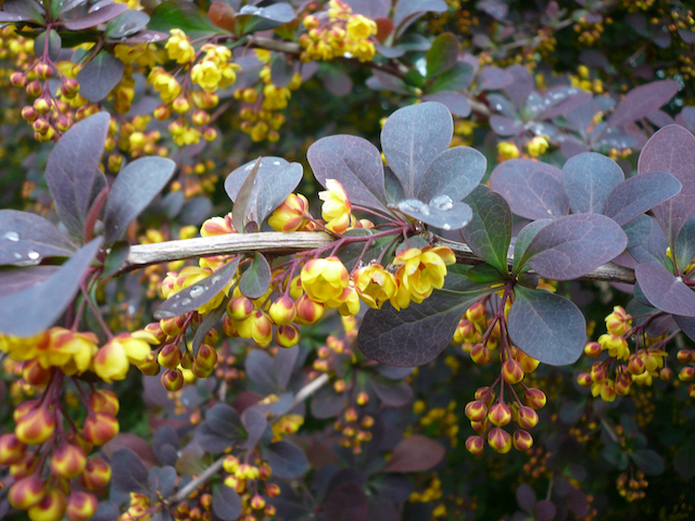 Branches of deep-purple leaves and slowly blooming yellow flowers