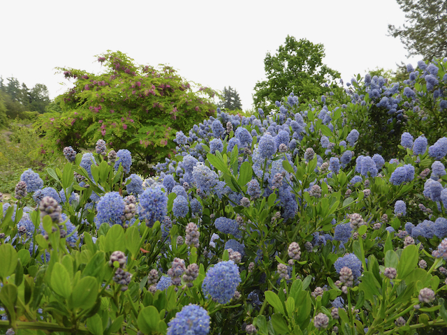 widely growing green shrub with cone-like clusters of blue-purple flowers