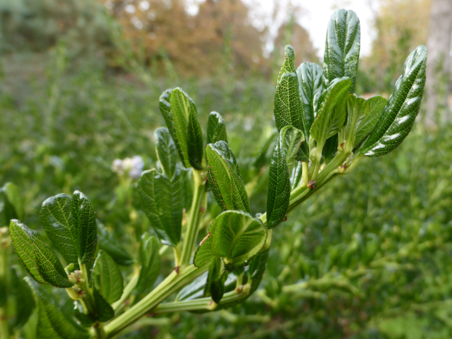 close up of leathery smooth-edged dark green leaves
