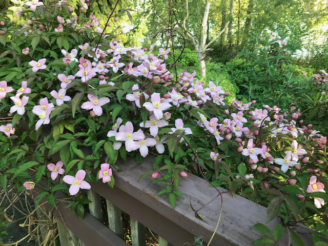Clematis montana climber vine growing profusely over ledge in blooming pink flowers