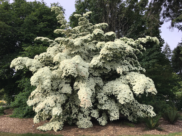 Shrub-like tree with giant swathes of creamy white flowers on branches