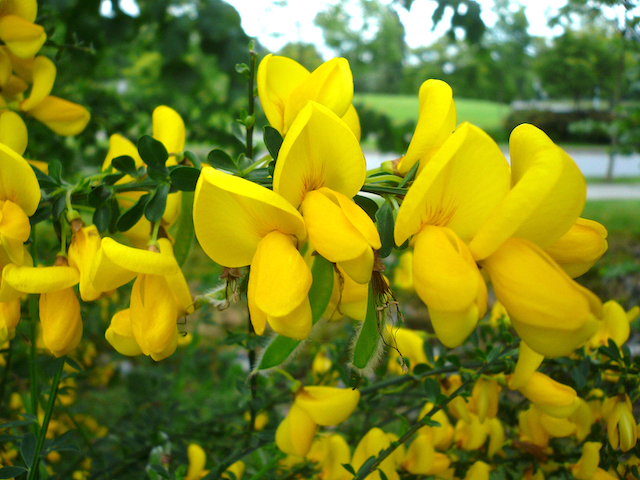 close up of thick yellow petals of Cytisus scoparius