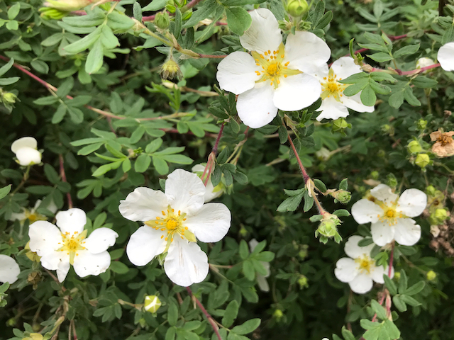 White flowers growing from shrub