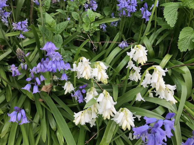 Close up of white and blue-purple bluebells
