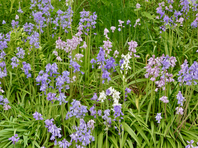 Grassy ground with pinkish-purple bluebells in foreground