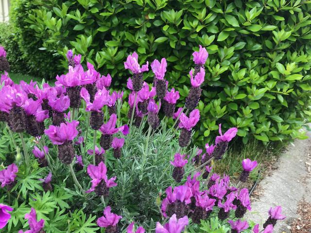Bright purple flowers growing from dark purple cones on pale green stems