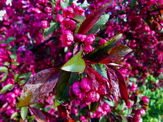 Close up of vibrant pink buds