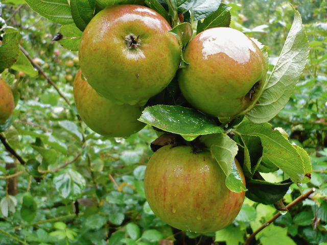 Close up of greenish-red apples growing on tree