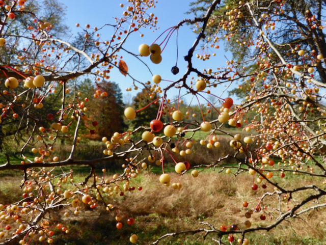 Pale to red berries growing on thin branches in field with blue sky