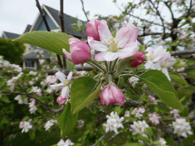 Close up of pinkish white blossoms blooming