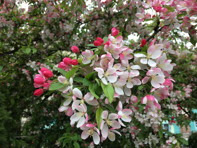 Pinkish to white blossoms growing in clusters on thin branch