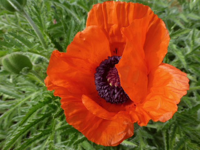 Close up of orange-red, ruffled poppy with dark centre