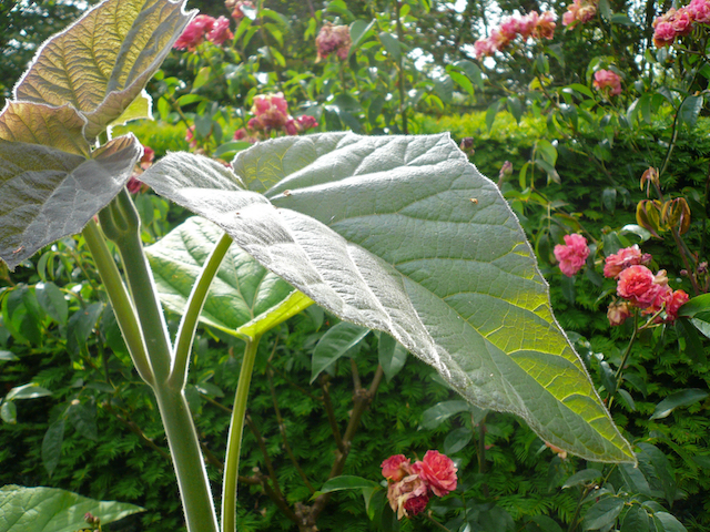 Two large stems with large spade-shaped leaves growing in front of red-flowering shrubs