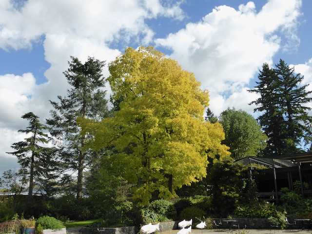 Long shot of tall tree with golden-pale green leaves