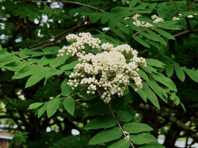 Large clusters of small, white flowers set against green foliage