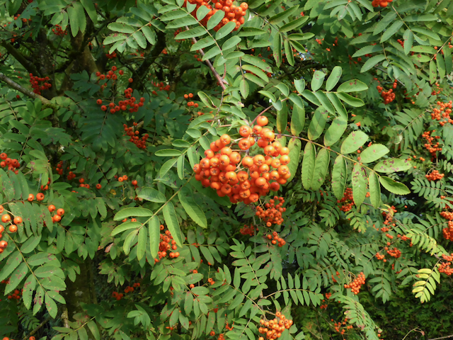 Red berry-like pomes (fruit) growing on branches with oppositely growing leaves