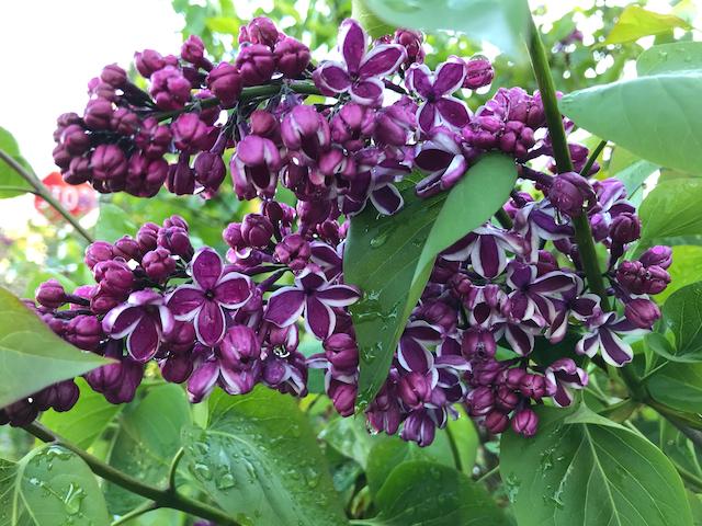 Close up of dark purple lilac