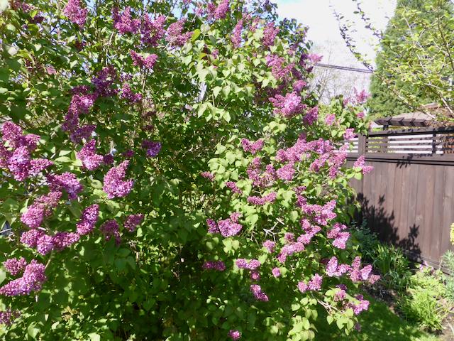 Shrub of dark purple lilac