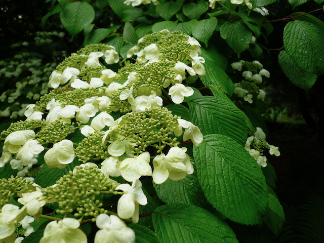 small greenish flower clusters surrounded by paler larger clusters of flowers on green-leaved branch