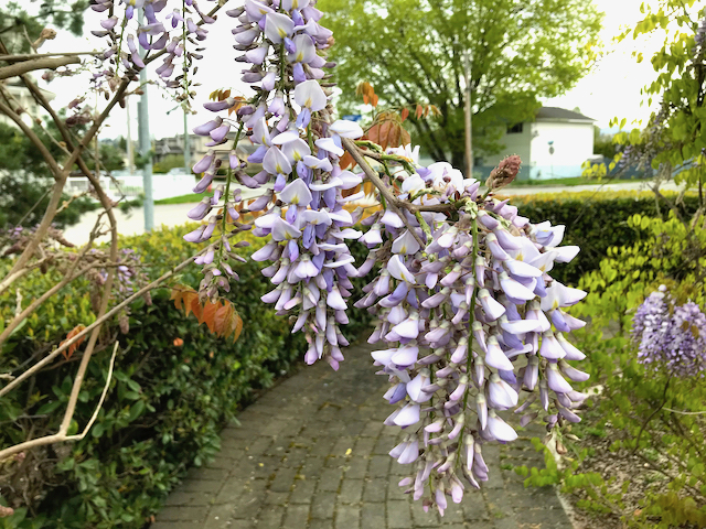 white to pale purple flowers droop down in clusters in front of pedestrian walkway