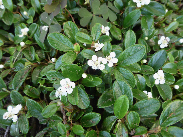 plant with dark green rubbery leaves growing close to ground producing small white flowers