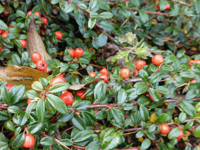 close up of dark green rubbery leaf plant with bright red berries (pomes)