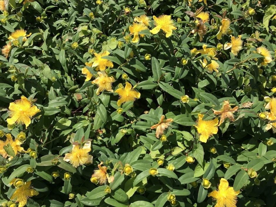 low growing yellow flowers and leaves/stems