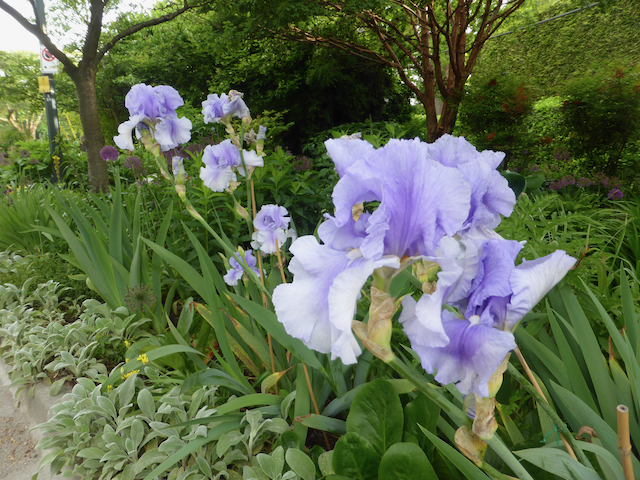 Pale purple iris growing in a row