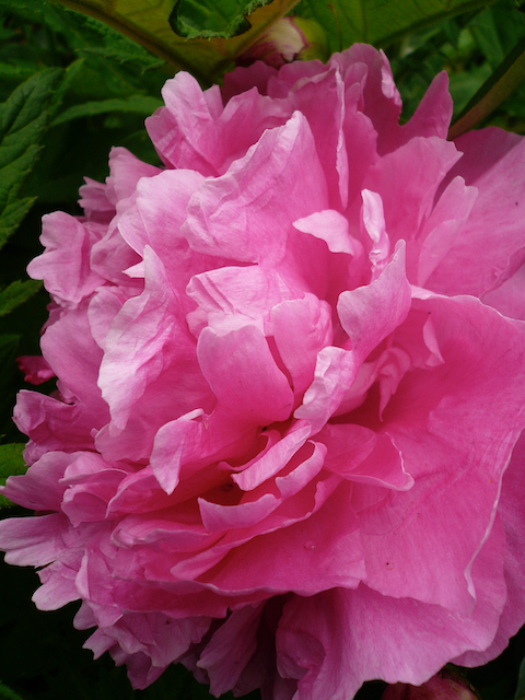 close up of vibrant pink peony