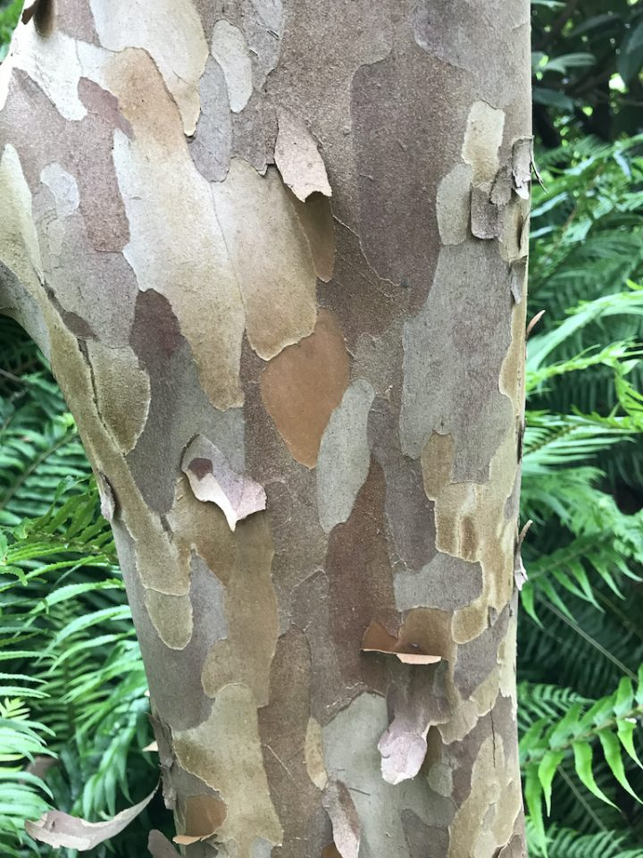 peeling bark of grey, beige and white